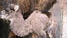 """Nasce baby cammello  """"Si chiamerà Polignano"""""""
