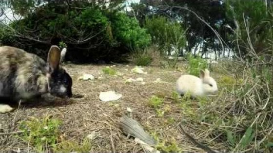 Troppi conigli mettono a rischio l'isola, a Porto Cesareo scatta l'inchiesta: 'Introdotti per fini turistici'