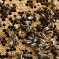 Agricoltura, api sotto stress per il maltempo: in Puglia crolla la produzione