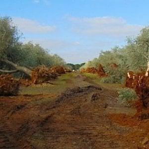 Emergenza xylella in Puglia: il ministro Centinaio sorvolerà in elicottero l'area infetta