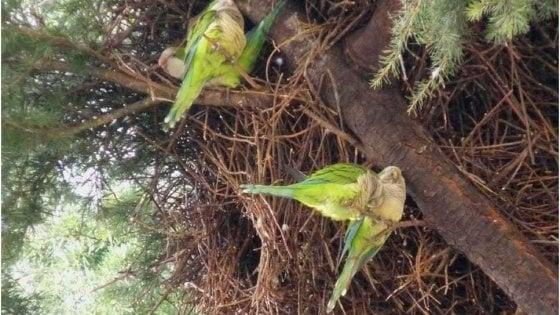 """In Puglia invasione di pappagalli verdi: """"Effetto della tropicalizzazione del clima"""""""