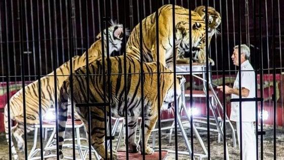 Domatore del circo Orfei ucciso dalle tigri a Bari: s'indaga sulle condizioni degli animali