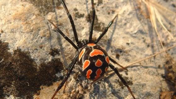 Grave 60enne punto da un ragno 'vedova nera' a Margherita di Savoia: lo salva siero mai usato prima in Italia