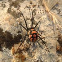 Grave 60enne punto da un ragno 'vedova nera' a Margherita di Savoia: lo salva siero mai...