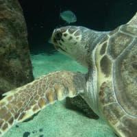 Salvata in Puglia, ora nuota alle Canarie: la nuova vita di Federica, tartaruga