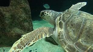 Federica, la tartaruga disabile salvata in Puglia: ora nuota