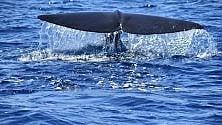 Nel Golfo di Taranto lo show dei capodogli