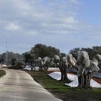 Xylella, dalla Regione i fondi per i vivai nelle zone a rischio: potranno mettere in...