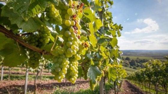 Puglia, al via la vendemmia: qualità al top. Tra i vini, Primitivo e Negroamaro da primato. Boom dei rosati (+122%)