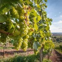 Puglia, al via la vendemmia: qualità al top. Tra i vini, Primitivo e Negroamaro