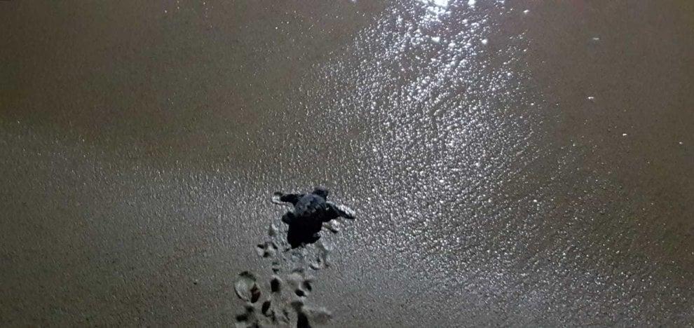 Salento, i primi passi verso il mare delle tartarughe appena nate