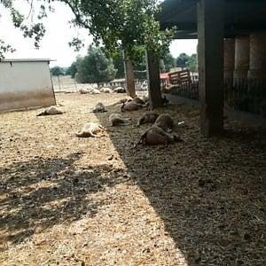 Martina Franca, un branco di lupi in masseria fa strage di pecore. Ad aprile toccò a cavalli e asini