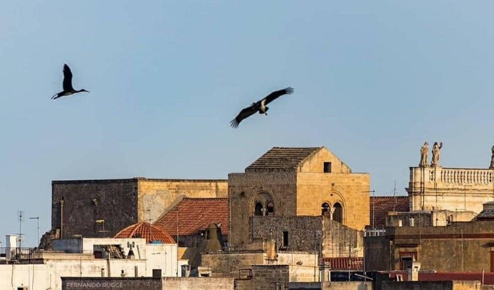 La cicogna nera torna a volare: avvistamento speciale sulla gravina di Castellaneta