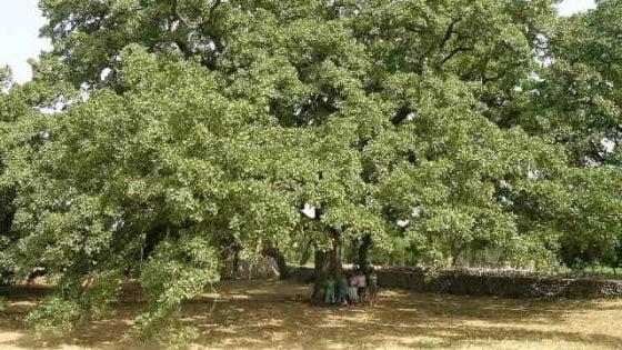 Salento, la Quercia vallonea ha quasi mille anni ed è l'albero più amato d'Italia