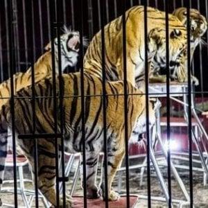 Domatore ucciso, le 8 tigri tolte al circo saranno divise e vendute all'estero