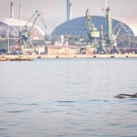 Il delfino davanti alle ciminiere dell'ex Ilva, i contrasti di Taranto in uno scatto