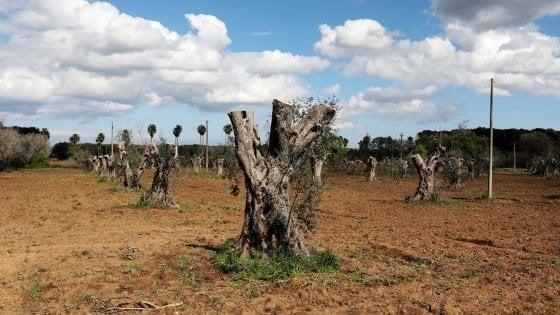Xylella, ritardi negli abbattimenti degli ulivi infetti: la Regione Puglia multa 'se stessa'