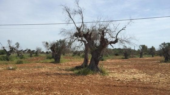 """Xylella in Puglia, cresce l'allarme dell'Ue: """"In Europa a rischio 300mila posti di lavoro"""""""