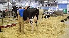 La mucca si fa bella  è pettinata col phon