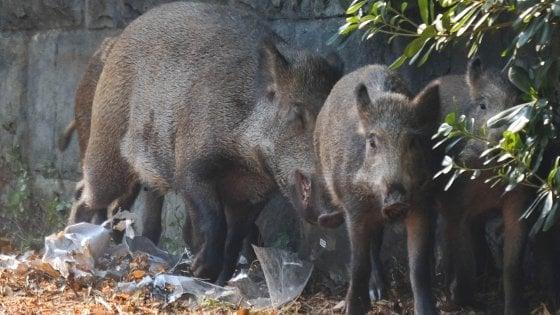 """Coldiretti: """"Emergenza cinghiali, pericolo per i cittadini"""". Gli ambientalisti: """"La caccia non serve"""""""