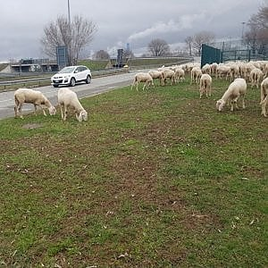 Comandante dei vigili aggredito da due pastori multati perché portano il gregge nelle strade di Capurso