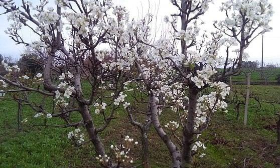 """Puglia, in poche ore dalla primavera con i peri in fiore all'allerta meteo per il vento. Coldiretti: """"Un disastro"""""""