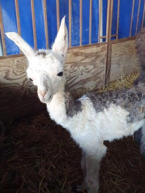 Un cucciolo di lama è nato a Bari, festa grande al circo