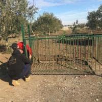 Pantera nera in libertà nelle campagne del Foggiano: gabbie trappola per l'animale