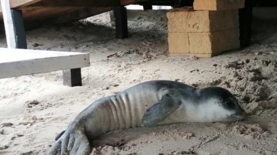 """È morto il cucciolo di foca monaca spiaggiato in Salento: """"Specie sempre più a rischio"""""""