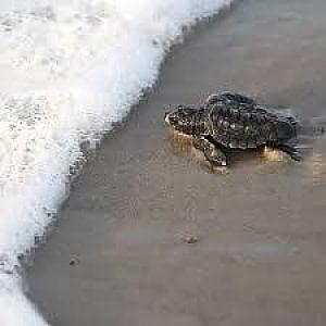 Due tartarughe marine morte sulla spiaggia di Gallipoli