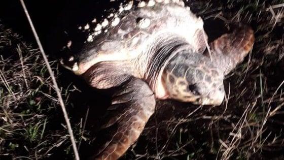 Abbandonano tartaruga marina in campagna: a Barletta due contadini la trovano e chiamano il Wwf
