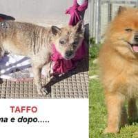 """Il cane abbandonato """"è da resuscitare"""" e lo chiamano Taffo: dopo tre mesi di cure in canile è irriconoscibile"""