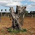 La xylella arriva nel Barese,  allarme Coldiretti: cinque  ulivi infetti a Locorotondo