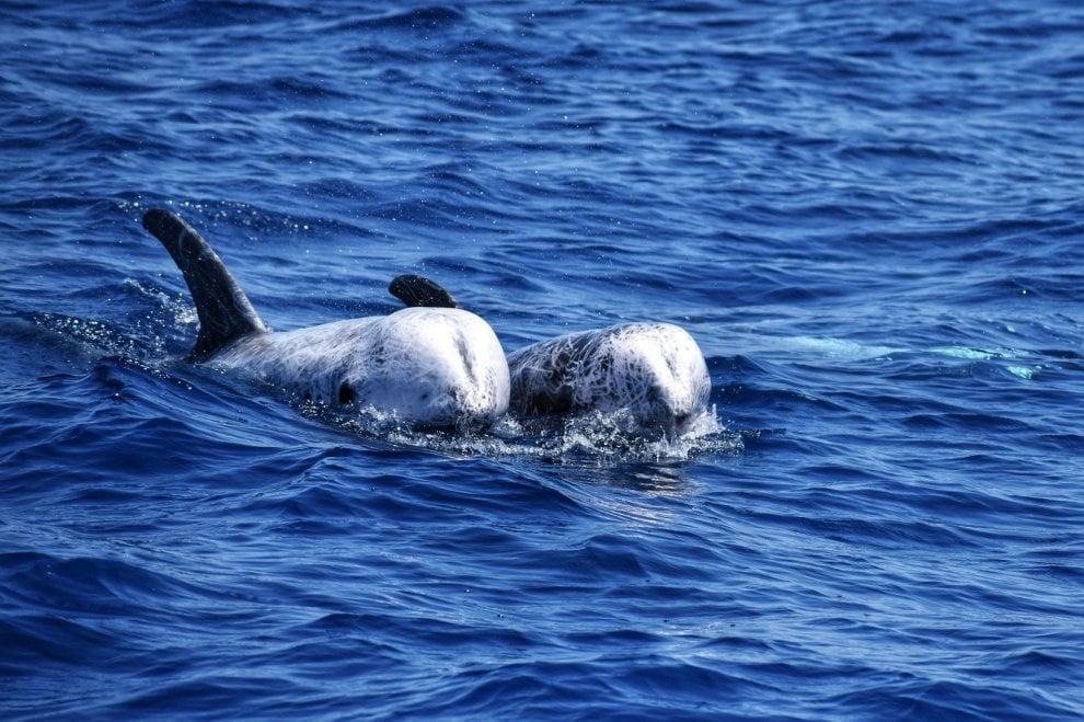 """Tre cuccioli di delfino appena nati avvistati nel mare di Taranto: """"Ottima notizia"""""""