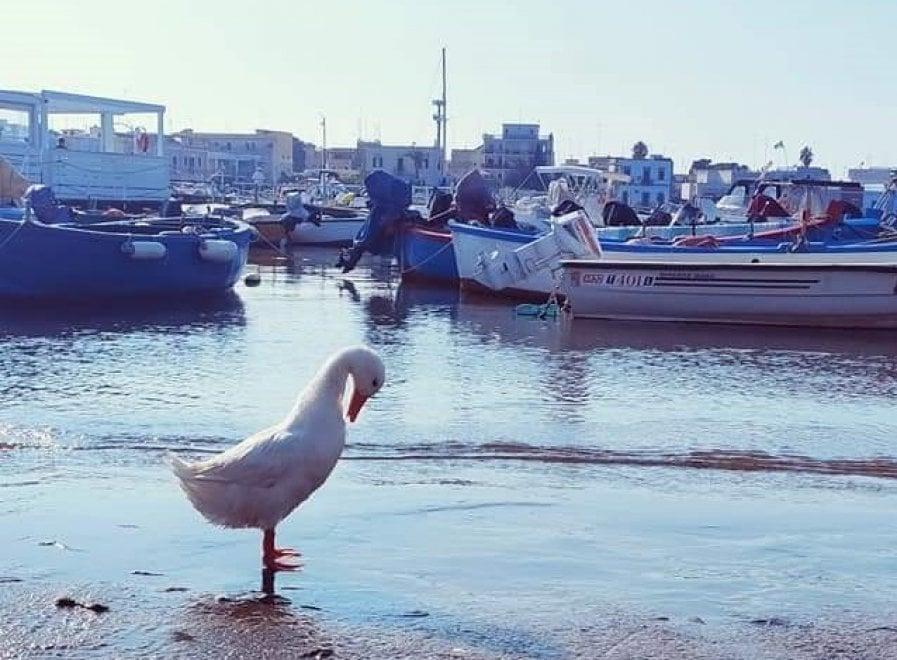 Bari, l'anatra avvelenata torna nel porto di Santo Spirito