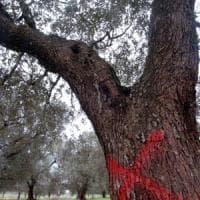 Xylella, focolaio a Monopoli: Emiliano ordina l'eradicazione di ulivi