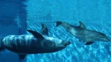 I giochi nell'acqua  del baby delfino