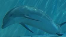 Il racconto di una nascita Così è venuto al mondo il delfino Baby Blue