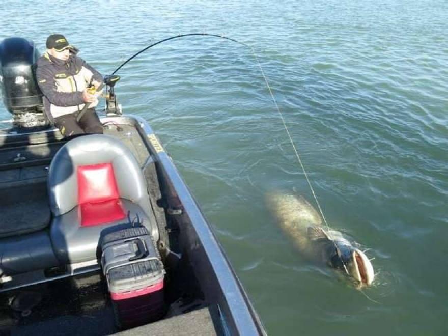 Enorme siluro pescato nel Po