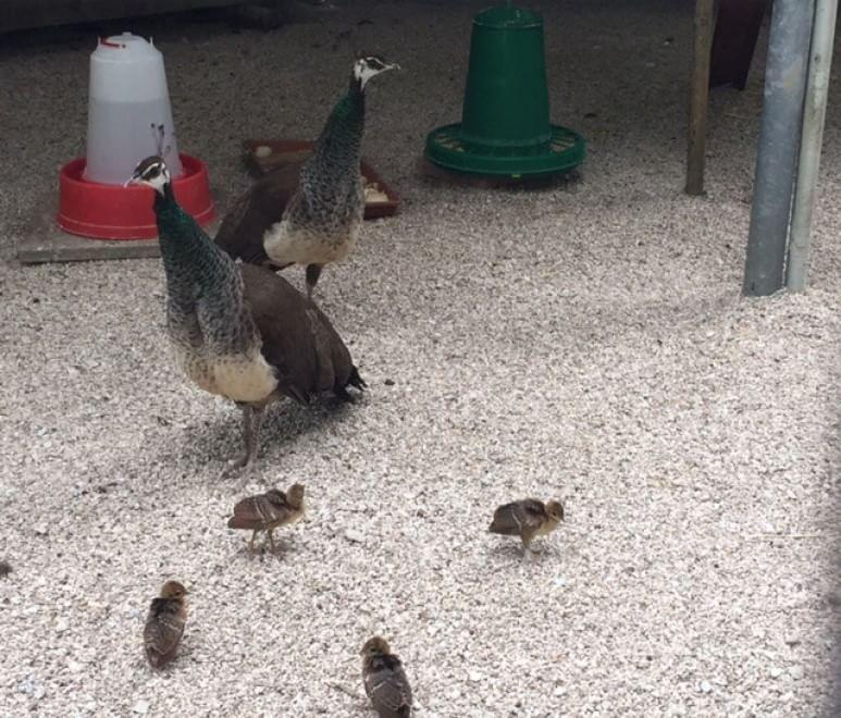 Riccione, al parco nascono quattro pavoni