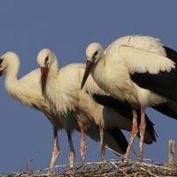 Riccione, i tre cicognini spiccano il volo