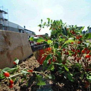 Se coltivare l'orto aiuta a guarire dal tumore