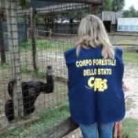 Scimpanzé torturati con una pistola:
