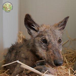 Lara, il cucciolo di lupo ferito che lotta per la vita al Centro di Monte Adone di Bologna