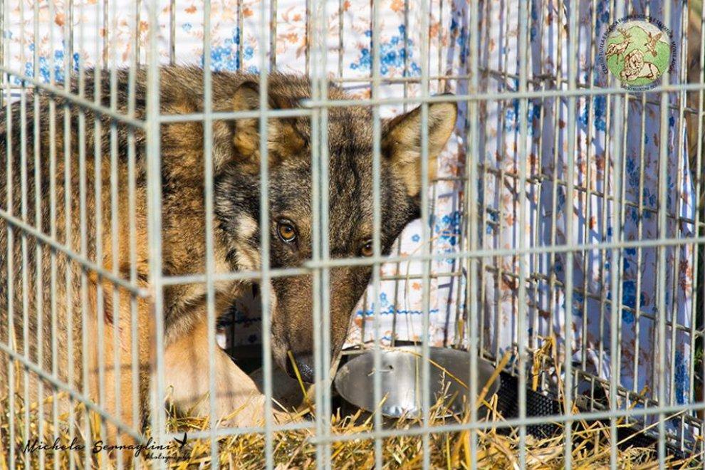 Investito da un'auto nell'Imolese, il lupo Léon vuole vivere