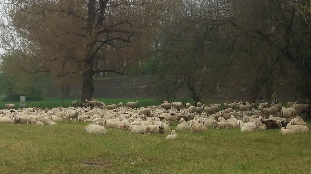 Ferrara, l'erba sotto le mura la tagliano le pecore