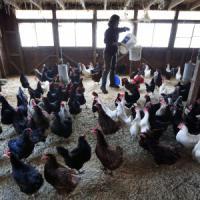 Focolaio di aviaria nel Ferrarese: abbattute 17mila galline