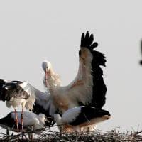 Riccione, due cicognini nascono al parco Oltremare