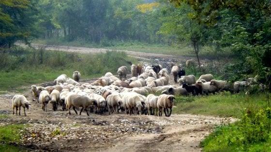 """'Ndrangheta, appello per il gregge sottratto ai clan: """"Non macellatelo"""""""