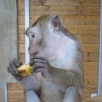 La nuova vita dei macachi: dai test in laboratorio a una casa in Maremma
